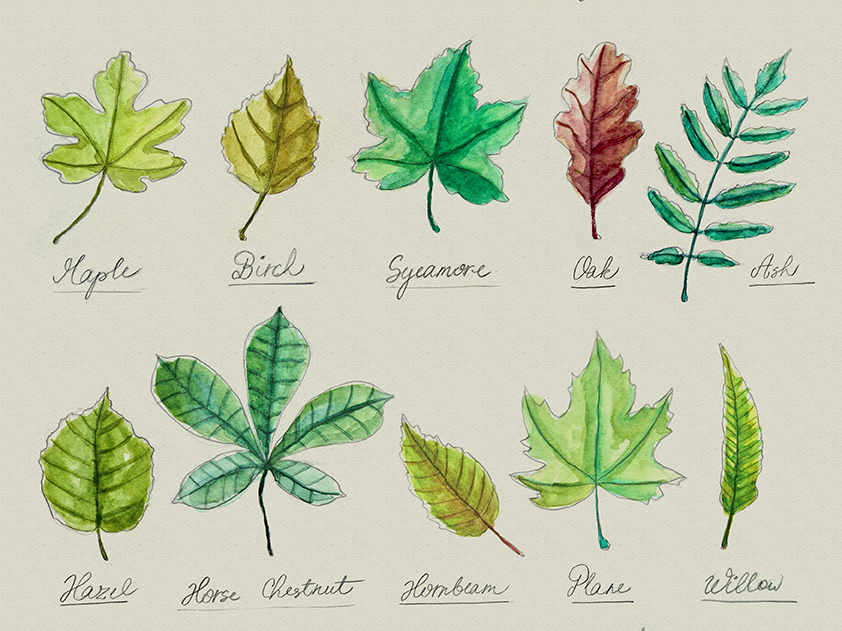 Common Tree Leaves hand-illustrated graphic